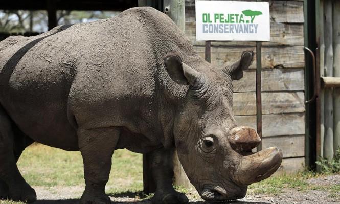 قتل آخر حيوان ذكر من سلالة وحيد القرن الأبيض الشمالي