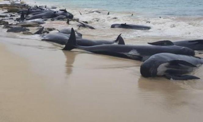 نفوق عدد كبير من الحيتان بعد جنوحها لشاطئ بأستراليا