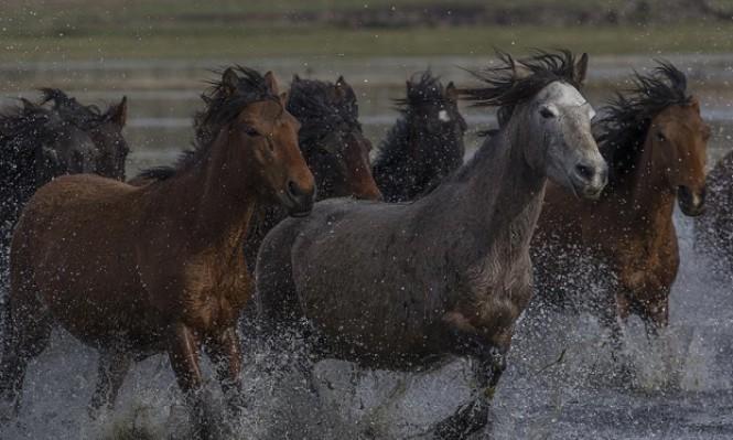 """خيول بريّة تعيش في سفوح جبل """"أرجبيس"""" بولاية قيصري وسط تركيا"""
