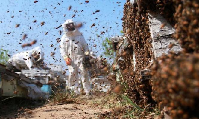 جمع العسل في غزة