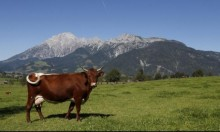 قد تُصبح الأبقار أكبر الثدييات حجما خلال قرون قليلة