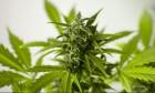 الماريخوانا قد تؤذي المواليد الجدد بشكل كبير