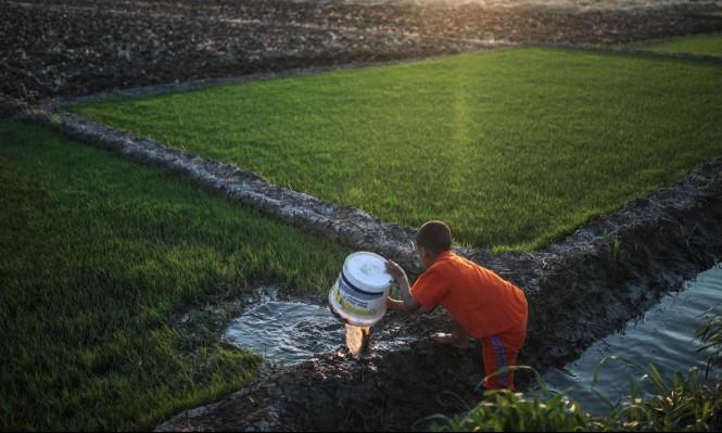 مصر: سن قانون قد يقضي على زراعة الرز بالبلاد