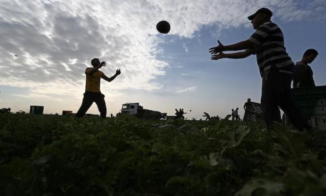 موسم البطّيخ في غزّة