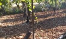 """مستوطنون """"يعدمون"""" 700 شجرة عنب قُرب الخليل"""