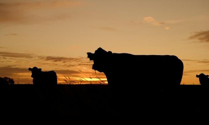 610 مليون دولار ستُنفقها نيوزيلندا لاستئصال مرض يُصيب الماشية