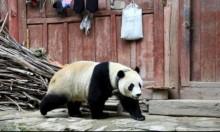 ماذا تفعلُ أُنثى الباندا في القرية؟
