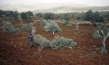 مستوطنون يقطعون 200 شجرة زيتون جنوب بيت لحم