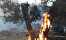 نابلس: مستوطنون يضرمون النيران بحقول الزيتون في بورين