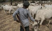 86 قتيلا بنيجيريا باشتباك مسلح على المراعي والأغنام