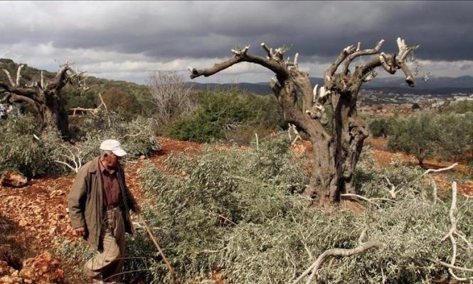 بيت لحم: مستوطنون يقتلعون أشجارا في بلدة الخضر
