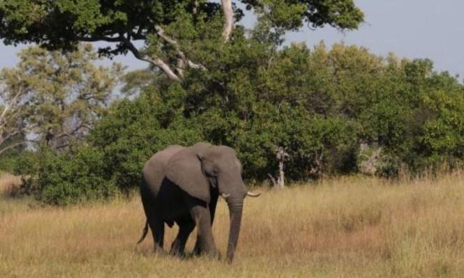 استعدادٌ لرفع الحظر على صيد الفِيَلة في بوتسوانا بأفريقيا