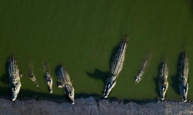 """""""مويا"""" أكبر تمساح في الأسر في العالم"""