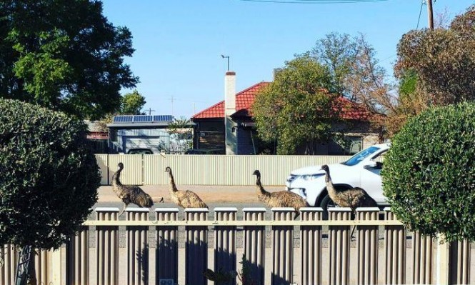 """طيور الإيمو """"تجتاح"""" شوارع بلدة أسترالية"""