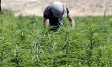 """لبنان: الجفاف يُجبر المزارعين على استبدال الخُضار بـ""""الحشيش"""""""