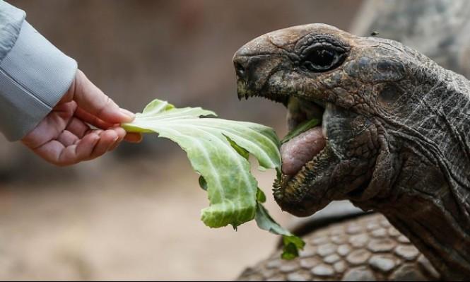 """إحدى السلاحف العملاقةالتي تجوب جزيرة """"تشانغو"""" الزنجبارية"""