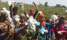 """""""الذهب الأبيض"""": زراعة القطن المصري في تراجع مستمر"""