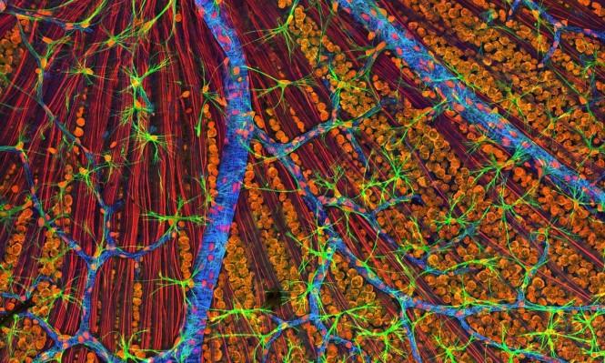 إنجاز علمي حديث: شبكية عين من خلايا جذعية داخل مختبر