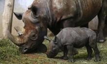 تشاد تعلن موت ثلثي حيوانات وحيد القرن الأسود لديها