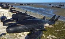 نيوزيلندا: نفوقُ 145 حوتًا جنحت لأحد الشّواطئ