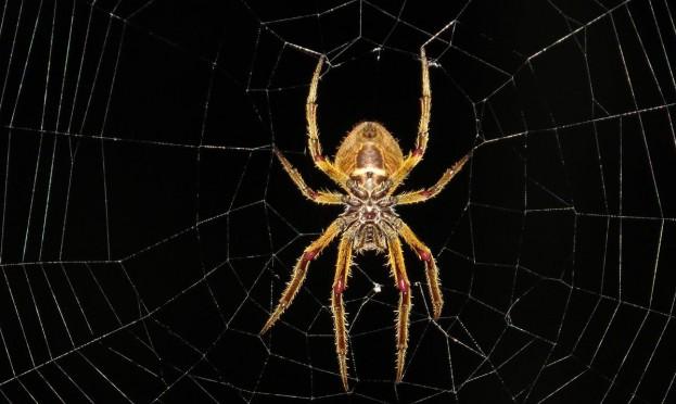 اكتشافُ عناكب تُغذّي صغارها بالرضاعة!