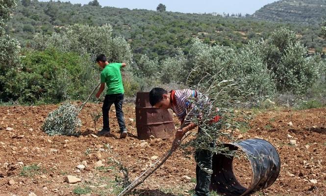 جرائم المستوطنين: قطع أشجار زيتون في منطقة الخليل