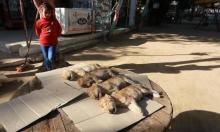 طفلة صغيرة تُعاين الأشبال التي نفقت في حديقة الحيوانات بغزة