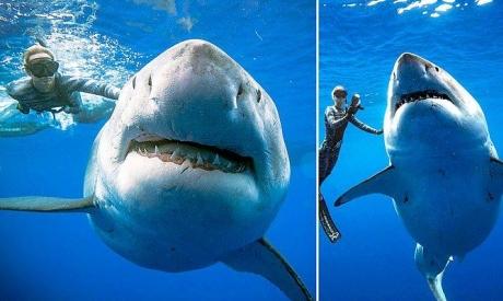 """""""ديب بلو"""": أكبر سمكة قرش بالعالم تلاعب الغواصين"""