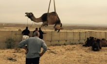 الدنفيري: مصادرة الإبل تهدف لإخضاع أهل بير هداج