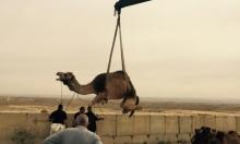 الزبارقة: حتى الحيوانات لم تسلم من عنف وعنصريّة السلطات الإسرائيلية