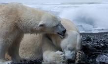 حياة الثدييات في القطبين تصبح أصعب.. والسبب؟