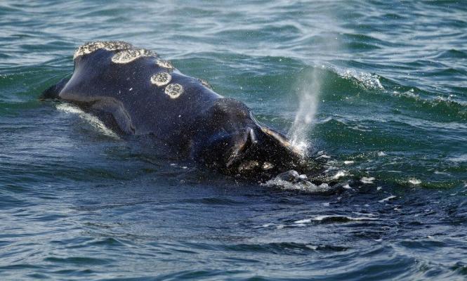 طائرات مسيرة لفحص سوائل الحيتان وصحتها