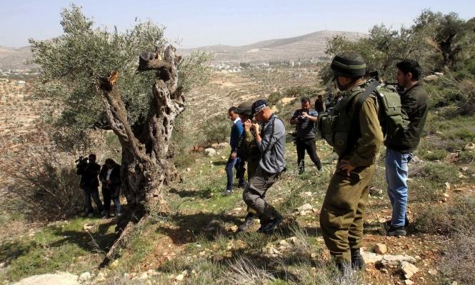 الأغوار الشمالية: جرافات الاحتلال تقتلع 300 شجرة زيتون