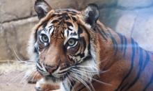 لندن: موت نمرة سومطرية مهددة بالانقراض