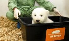 صغير الدب القطبي حديث الولادة