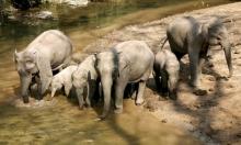 الصين: زرعُ محاصيل خاصّة للأفيال لحماية محاصيل المزارعين