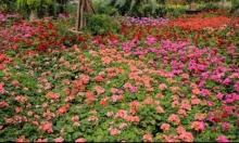 المعرض الستين للزهور في حديقة الأورمان