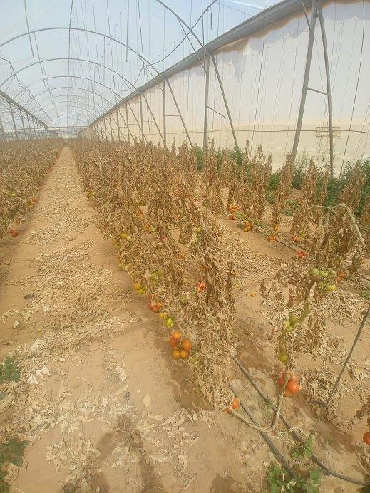 رهط: اتهام شاب بإتلاف محاصيل زراعية