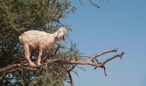 """""""الماعز المتسلقة"""" حيلة المزارعين المغاربة لجلب السياح"""