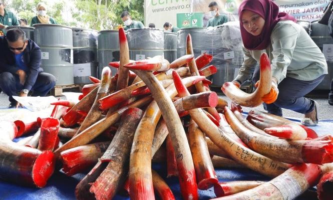 ماليزيا: حرق 4 أطنان من أنياب الفيَلة ومنتجات العاج