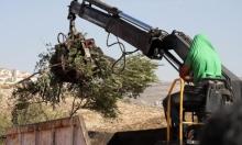 المستوطنون يقطعون أشجار الزيتون في قرية برقة