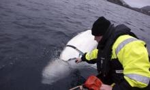 هل تجسس الحوت الأبيض لصالح روسيا؟