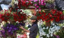مزارع فلسطيني يتفحص الزهور في دفيئة في حي الزوايدة بوسط قطاع غزة