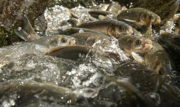 آلاف أسماك البوري تهاجر وهي ضد التيار بمشهد بديع