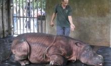 ماليزيا: موت آخر وحيد قرن في محمية طبيعية