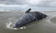 ارتفاع حرارة المحيطات تسبب نفوق عشرات الحيتان الرمادية