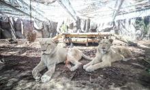جنوب إفريقيا: هروب 14 أسدا من حديقة الحيوانات