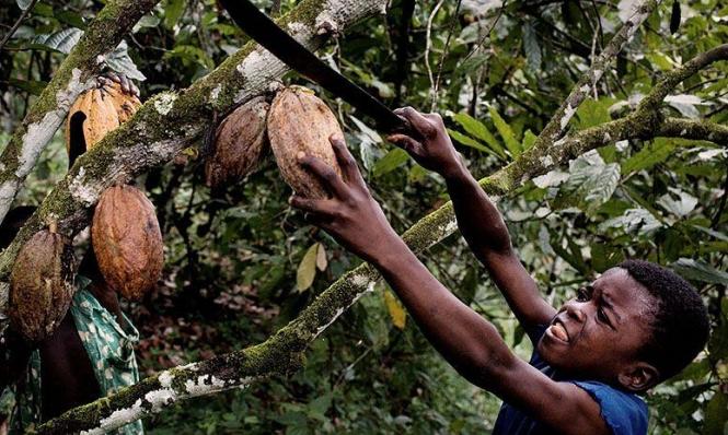 زيادة سعر الكاكاو يمكنها أن تنقذ أطفال غانا من الاستغلال!