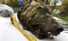 روسيا: العثور على رأس ذئب عاش منذ 40 ألف عام