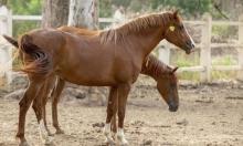تونس: مزاد سنوي للخيول العربية والإنجليزية